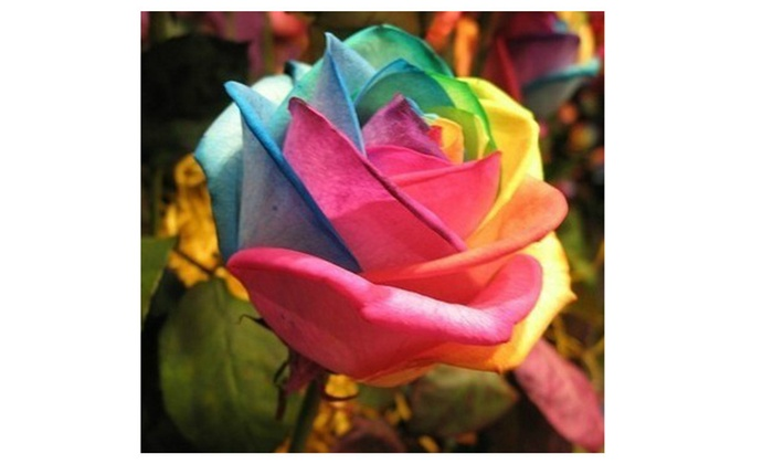 Multi color 200pcs rainbow rose flower seeds garden yard for Multi colored rose bushes