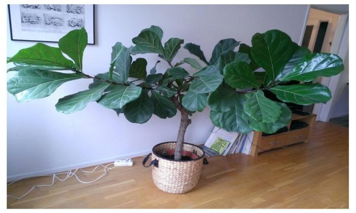 online trader ficus lyrata fiddle leaf fig tree houseplant live great indoor tree