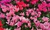 Pink Crush Cyclamen Flower Bulbs (3pk, 6pk, 12pk With Bulb Planter)