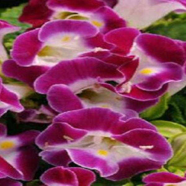 Torenia Seeds Kauai Magenta Seeds 50 Pelleted Seeds
