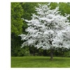 White Flowering Dogwood (cornus-florida) Amazing live plant