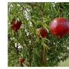 Pomegranate Wonderful Punica granatum Live Plant