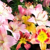 American Daylily Mixed Flower Bulbs (5-, 10-, or 20-Pack)
