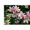 Kurt Shaffer 'Pink Lilies' Canvas Art