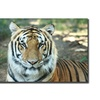 Tiger by Cary Hahn-18x24  Canvas Print
