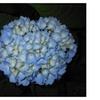 1 Nikko Blue Mophead / Bigleaf Hydrangea's 6-10 inches Tall