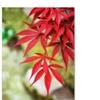 Philippe Sainte-Laudy 'Japanese Maple' Canvas Art