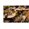 Kurt Shaffer 'Mushrooms in the Leaves' Canvas Art