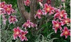 Mixed Hybrid Fragrant Lilies From Holland (20-, 40-, 80-Pack With Bulb Planter)