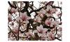 Online Trader: 1 Saucer Soulangeana Magnolia shrub live tree Spring Flower beautiful