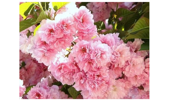 Kwanzan Flowering Cherry Tree Ornamental Live Pink Plants Seedlings