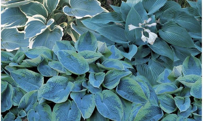 Blue Hosta Blend Bare Roots 5 Pack Groupon