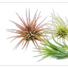 Air Plant 3-Pack / Live House Plants / 2 - 3 Inches Large