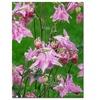 Kathie McCurdy Pink Columbine Canvas Print 35 x 47