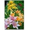 Kurt Shaffer Lovely Lilies Canvas Print 16 x 24