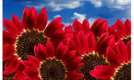 """Sunflower Seeds """"Red Sun"""" Heirloom Flower Seeds Multiple Blooms & Branches 50ct"""