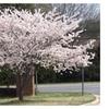 Yoshino Flowering Cherry Tree Flower Ornamental Beautiful Garden