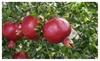Pomegranate Wonderful Punica granatum Home Outdoor Garden Fruit Tree