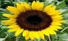 Sunflower Seeds, Black Oil Seeds, Heirloom Sunflower Seeds, Birds Love Them 50ct