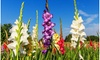 Giant Gladiolus Mixed Flower Bulbs (40-, 80-, 200-Pack with Planting Tool)