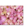 Kathie McCurdy Pink Hydrangea Canvas Print