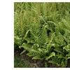 20 Christmas Fern BARE ROOT (Polystichum Acrostichoides)