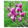 1 Ann Magnolia shrub tree Beautiful Purple Plant