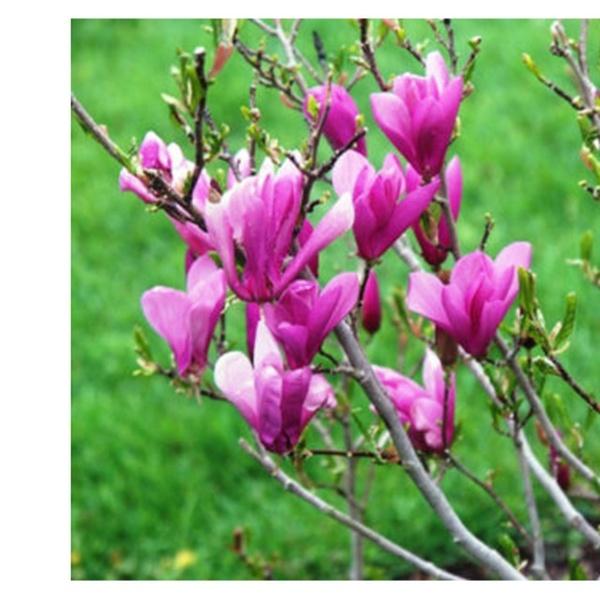 1 Ann Magnolia Shrub Tree Beautiful Purple Plant Groupon
