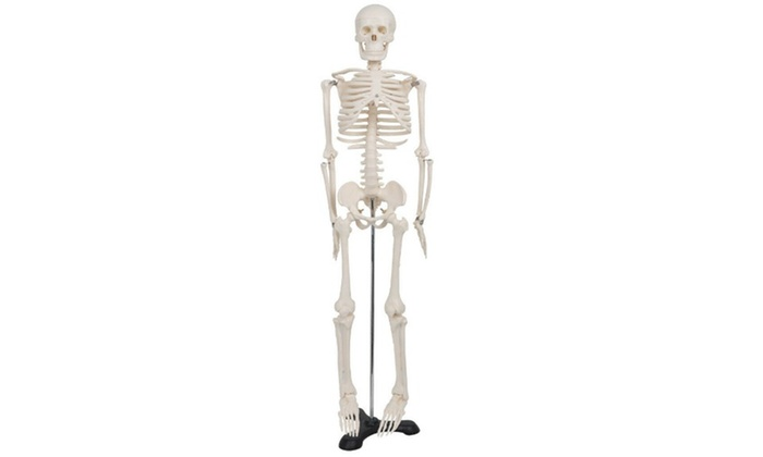 Human Anatomy Skeleton Medical Model with Stand