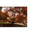 Kurt Shaffer 'Autumn Japanese Maple Tree' Canvas Art