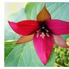 Red Trillium,Wood Lily roots (Trillium Erectum) Live Beautiful Plant