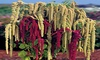 Love Lies Bleeding Seeds, Farm Mix, Tassle Flower, Amaranthus, Heirloom 50ct