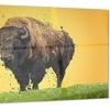 Lone Bison- Animal Metal Wall Art 28x12