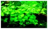 Hydrocotyle tripartita Japan Vitro Culture Fresh Live Aquarium Plants