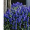 Grape Hyacinths Set of 12 Bulbs