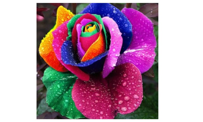 Multi Color 200pcs Rainbow Rose Flower Seeds Garden Yard