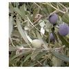 Olive Tree Arbequina - Live Plant- Olea europaea