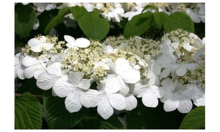 Japanese snowballviburnumbush white flower spring live plant shrub mightylinksfo