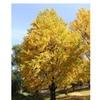 Ginko Tree (maidenhair tree-ginkobiloba) yellow beautiful live plant