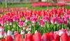 Spring Showgirl Tulip Flower Bulbs (10pk, 20pk, 50pk-With Bulb Planter)