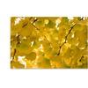 Philippe Sainte-Laudy 'Yellow Autumn' Canvas Art
