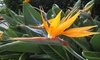 Strelitzia Reginae - Live Plant