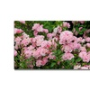 Kathie McCurdy 'Pink Roses' Canvas Art