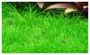 Eleocharis sp. Mini Culture Dwarf Hairgrass Mini Live Aquarium Plants