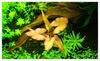6x Red Nymphaea Rubra Bulb Live Aquarium Freshwater Fish Plants