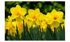 TISA CO: 25 Wild Daffodil Flower Bulbs( Narcissus Pseudonarcissus), Great Value