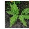 Lady Ferns bare root-(Athyriun Filix-Femina)Green Beautiful Live Plant