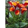 Callas - Flame - Set of 5 Bulbs