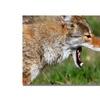 Nicole Dietz Yellowstone Coyote Canvas Print