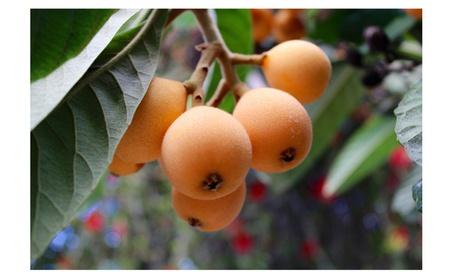 Japanese Plum Loquat Fruit Tree, LiveStarter Seedling Plant 4ff51c60-af98-482f-a071-5476b25b0891